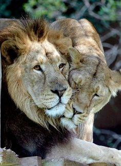 Lion love...