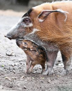 Thomu and mom  (Tobias Kleinschmidt, AFP/Getty Images / August 12, 2011)  A young red river hog named Thomu sniffs its mother's snout in their enclosure at the Berlin Zoo. The piglet was born at the zoo on July 16, 2011. In the wild, red river hogs, also called bush pigs, typically live in herds of six to 20 members led by a dominant boar.
