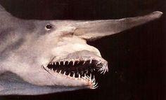 Raro, este tubarão ainda guarda muitos mistérios para a ciência.    Há pouco mais de cem anos, pescadores japoneses capturaram pela primeira vez um tubarão muito estranho, de águas fundas, ao largo de Yokohama. Como para tudo se dá um nome, o tubarão ganhou o de Goblin Shark: o tubarão duende. Este é um bicho raro, só encontrado em poucos lugares do mundo, geralmente além dos 300  metros de profundidade.