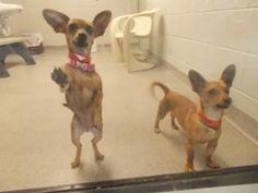 Barnum and Bailey is an adoptable Chihuahua Dog in Allentown, PA. We are best friends, one male and one female, we would prefer to be adopted together. Please consider opening your heart and home to t...