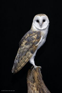 Barn Owl Profile (Tyto alba) by Dave Van de Laar on 500px