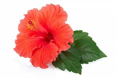 Red hibiscus flower with leaves isolated on white, clipping path. Stock Foto, Beauty Photos, Hibiscus Flowers, Outdoor Plants, Flower Photos, Photo Illustration, Houseplants, Royalty, Leaves