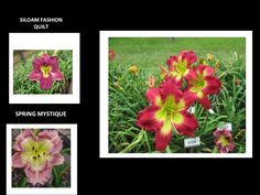DAYLILY SEEDLING - GARDEN NAME IS FIRE DRILL. We love this red seedling and will introduce it in 2017. The two parents are on the left. Not what I was expecting but a great new daylily that was much admired this year by visitors. #daylily