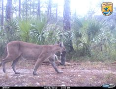 Image description: A female panther moves one of her three kittens to a new den at the Florida Panther National Wildlife Refuge in Naples, Florida. This image, taken with an automatic trail camera, could be the first photo ever taken of a panther moving kittens between den sites. Photo courtesy of U.S. Fish and Wildlife Service.