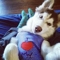 e9c93d9be62 Siberian Husky Beautiful Funny Photo Face. Follow to see more!  husky   huskyface  siberianhusky