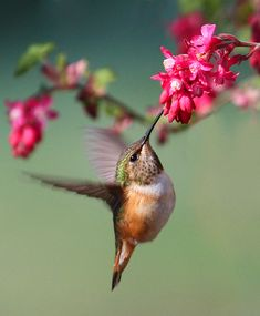 Stunning Hummingbird getting the nectar from the flower