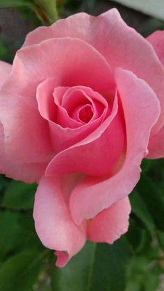 #BeautifulFlowers #Roses #LoriShin