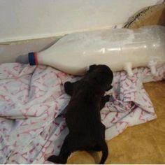 Una bottiglia di plastica cui siano stati applicate tre tettine da biberon può essere un utile supporto alle balie umane che debbano allevare a mano dei cuccioli orfani