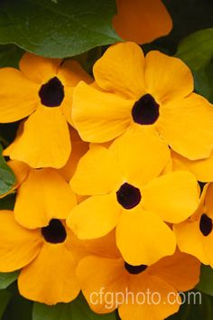 Black-eyed Susan Vine.  Planted on trellis in boys garden.