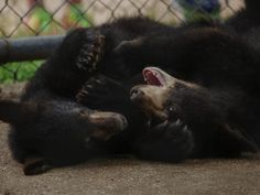 Bear cubs wrestle around in a cage at Oswald's Bear Ranch in Newberry, MI on Wednesday July 30, 2014 in Michigan's Upper Peninsula. People are able to pay to have a photo taken with the cub as they feed them fruit loops.