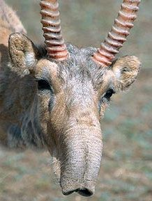 The Saiga antelope once roamed from western Europe across the Eurasian continent & into Alaska. It now only lives in areas of the dry steppes & semi-deserts of Mongolia, Kazakhstan & Kalmykia. List Of Animals, Animals Of The World, Cute Animals, Wild Animals, Animals With Horns, Animal Noses, Different Types Of Animals, Extinct Animals, Horses And Dogs