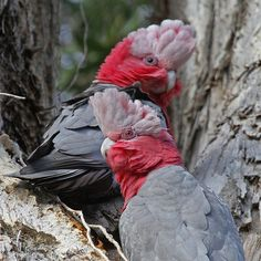 ༻⚜༺ ❤️ ༻⚜༺ Galah Parrots (cockatoo) also known as the Rose-breasted Cockatoo… Budgies Parrot, Parrot Bird, Parakeets, Exotic Birds, Colorful Birds, Pretty Birds, Beautiful Birds, Macaw Parrot For Sale, Galah Cockatoo