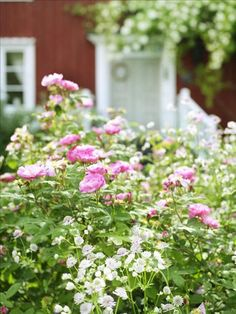 roses & astrantia major