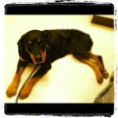 Keira, new rescued Rottie, needs a home!
