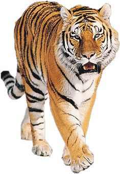 Tiger is the largest species of the cat family. Tigers are wild animals, but the current tiger populations are threatened due to continued hunted for their leather. It is 10 interesting tiger facts.