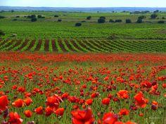 Spain...sea of vineyards and poppies.........Mar de viñedos y amapolas en Castilla la Mancha España........by Elena Belloso.