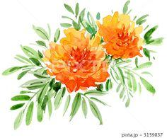 marigold11830pix.