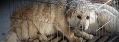 VICTORY! A DOG SLAUGHTERHOUSE AND 33 MARKETS SHUTDOWN! A total of 33 stalls belonging to the 'Three Birds of Dali Markets' and a dog slaughterhouse, situated in Nanhai – Foshan (Guangdong Province), have been closed by Chinese authorities, following Animal Equality's latest investigation in collaboration with Last Chance for Animals (LCA).
