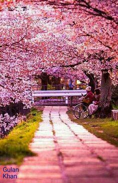 Awesome beauty of Sakura Japan
