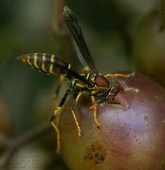 paper wasp on grape.jpg (insects ). Photo by leddyed