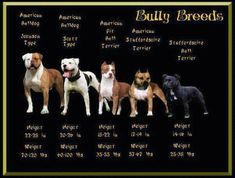 American bulldog types. #americanbulldog... Bentley is a Johnson American Bulldog