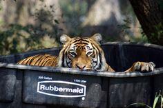 Mona Tiger | Carolina Tiger Rescue Raptors, Big Cats, Predator, Cute Animals, Pretty Animals, Cutest Animals, Cute Funny Animals, Adorable Animals