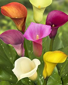 Calla lillies in deferent colors. Calla Lily Flowers, Calla Lillies, Flowers Nature, Exotic Flowers, Amazing Flowers, Beautiful Roses, Beautiful Flowers, Black Calla Lily, Lys Calla