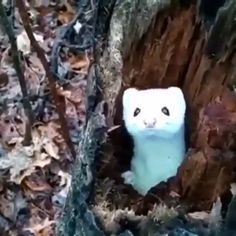 Gorgeous white mink checking out a hiker from their tree stump ? Gorgeous white mink checking out a hiker from their tree stump ? Funny Animal Videos, Cute Funny Animals, Cute Baby Animals, Animal Memes, Cute Creatures, Beautiful Creatures, Animals Beautiful, Nature Animals, Animals And Pets