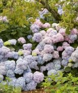 Endless Summer® Hydrangea (Hydrangea macrophylla 'Bailmer') - Monrovia - Double click on the picture for more information