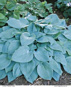 Use these lush-foliaged plants to accent shady beds by Tony Avent from Fine Gardening issue 71