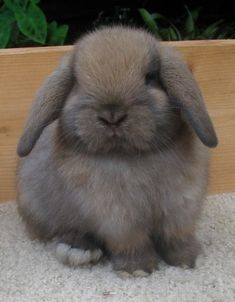Black Tort Holland Lop