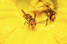Yellowjacket wasps.