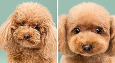 This Photographer Has Captured Dogs Before And After Their Haircuts, With Hilariously Cute Results.
