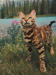 Click the Photo For More Adorable and Cute Cat Videos and Photos - Bengal Cat Collection - Chat Beautiful Cat Breeds, Beautiful Cats, I Love Cats, Crazy Cats, Cat Anime, The Animals, Baby Animals, Animals Photos, Image Chat