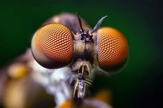 Compound Eyes of a Robber Fly – (Holcocephala fusca) by Thomas Shahan, via Flick… Eyeshadow For Blue Eyes, Blue Eye Makeup, Lynx, Photo Oeil, Insect Eyes, Insect Art, Eyeshadow Tutorial For Beginners, Eyeshadow Tutorials, Strange Beasts