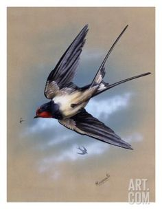 A Swallow (Hirundo Rustica) in Flight. Painting by Malcolm Greensmith Giclee Print by Malcolm Greensmith at Art.com
