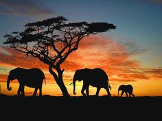 Safari in Africa. I will go on an African safari. African Elephant, African Animals, African Safari, Elephant Family, Elephant Love, Baby Elephants, Elephant Wallpaper, Elephant Silhouette, Africa Silhouette