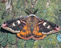 onalandmine: small emperor moth - wrinkle me deep, o loved one