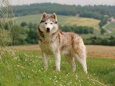 http://wamiz.com/chiens/husky-siberien-206  Husky sibérien