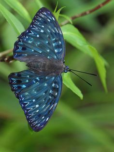 Meteor Nymphalidae Butterfly