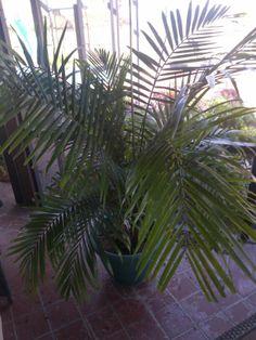 Palm On Patio