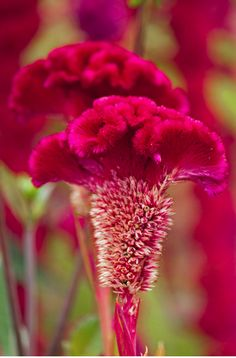 ✯ Red Cockscomb
