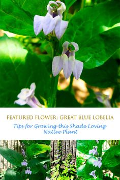 Lobelia siphilitica grows well in partial shade and can attract pollinators such as bumblebees and large butterflies. Learn what it needs to thrive in your garden. Largest Butterfly, Shade Garden, Native Plants, Colorful Flowers, Butterflies, Garden Design, Shades, Gardening, Blue