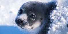 Stops Canada cruel seal hunt. Take action now. June 2016