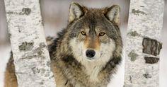 Mark Rowlands, la filosofia del lupo - laCOOLtura