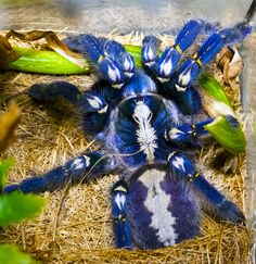 blaue ornament vogel spinne poecilotheria metallica