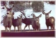 The deer at Royal Gorge, CO eat from your hands.