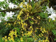 Oncidium Obryzatum   Oncidium klotzchianum or obryzatum?   Explore Ecuador Megadi ...
