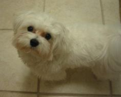 Our first family dog was a Maltese when I was growing up....so cute