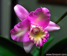 Manoochehr Fonooni, Orchid photographs, orchid and flowers photo, San Rafael, CA, Fonooni,Orchids art photos,Mano Fonooni